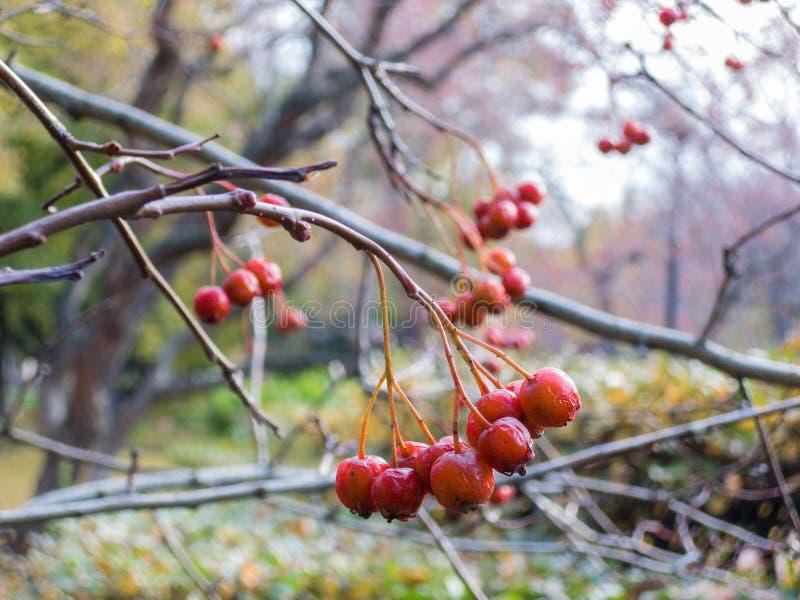 Ashberry fotografia stock