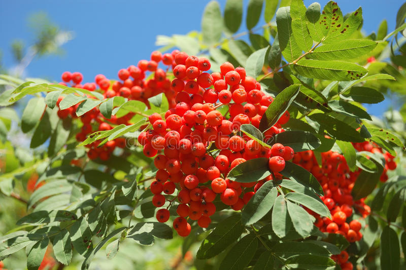 Ashberry branch. With blue sky royalty free stock photos