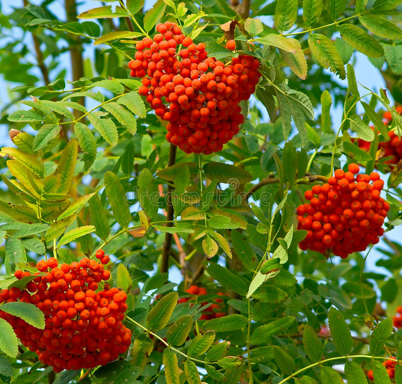 Free Ashberry Branch Stock Image - 6560541