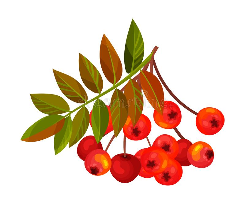 Ashberry Branch with Berry Clusters and Pinnate Leaves Vector Illustration. Mature Red Rowan Berry Pome Fruit as Edible Plant stock illustration