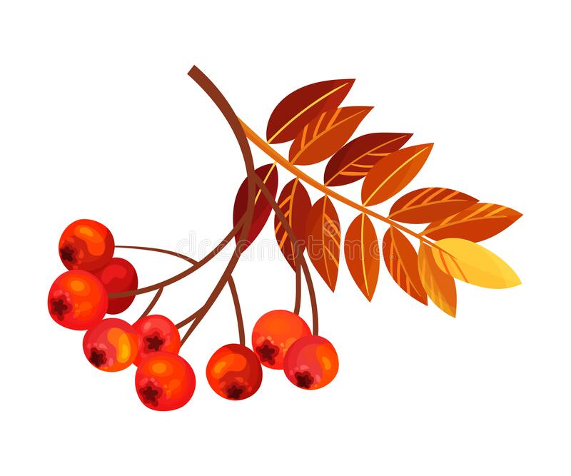 Ashberry Branch with Berry Clusters and Pinnate Leaves Vector Illustration. Mature Red Rowan Berry Pome Fruit as Edible Plant royalty free illustration