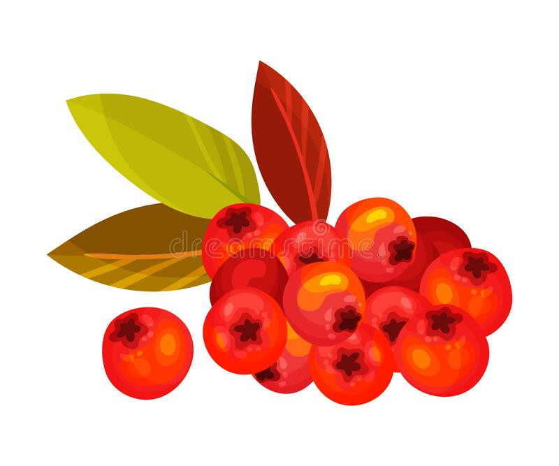 Ashberry Branch with Berry Clusters and Pinnate Leaves Vector Illustration. Mature Red Rowan Berry Pome Fruit as Edible Plant vector illustration