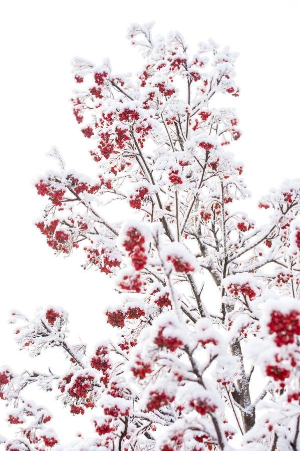 Ashberry in de winter op natuurlijke achtergrond stock afbeeldingen