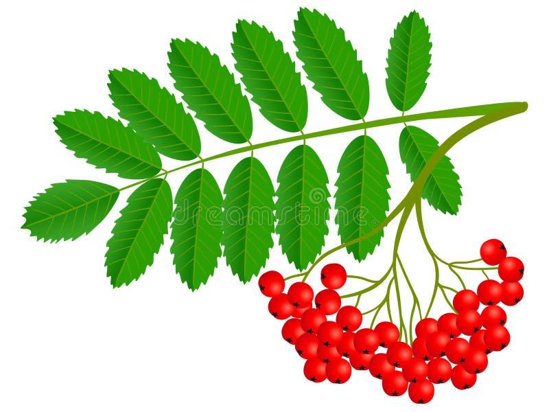 Ashberry-Gruppe mit roter Beere und grünen dem Blatt lokalisiert auf weißem Hintergrund vektor abbildung