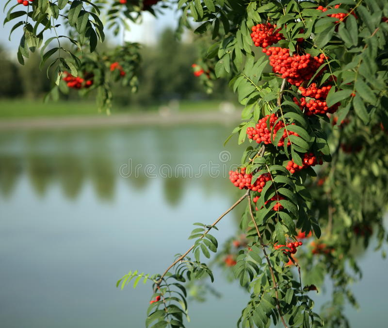 Ashberry With Leafs Stock Images