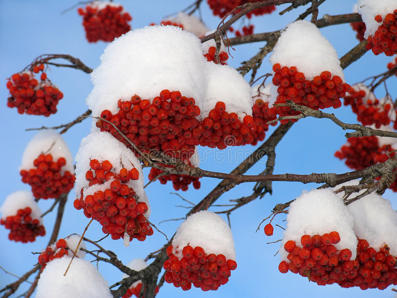 Ashberry onder de sneeuw stock foto
