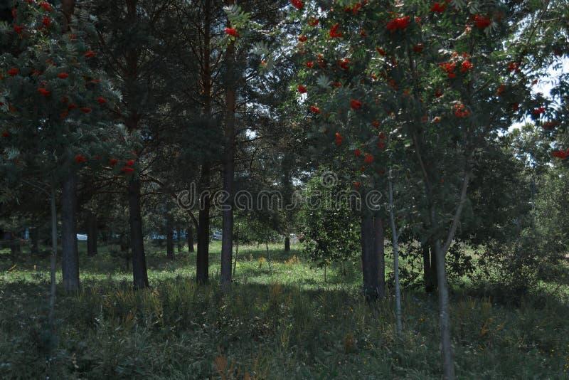 Ashberry fotografia stock libera da diritti