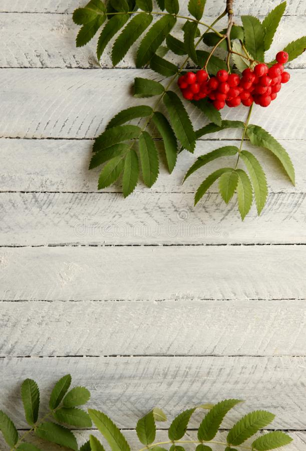 Ashberry rojo en un fondo blanco fotos de archivo