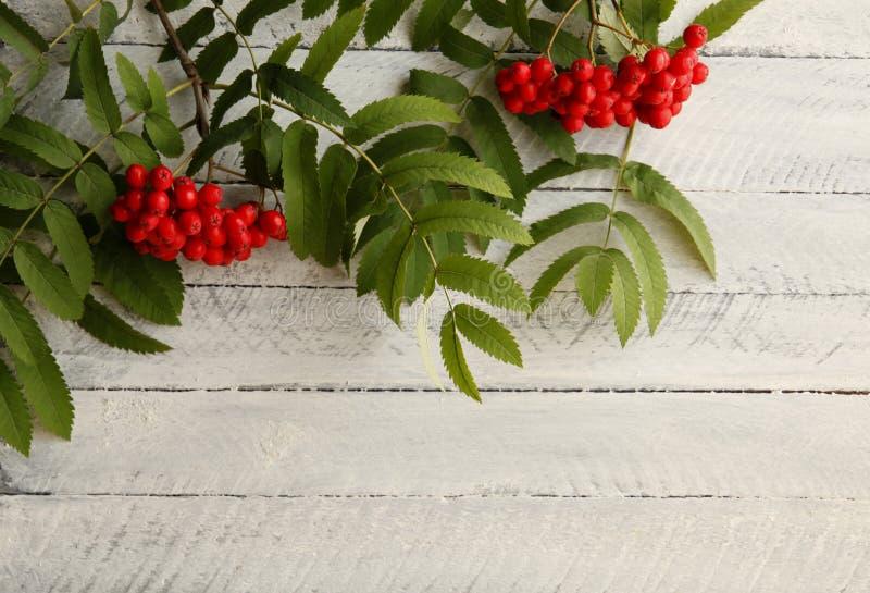 Ashberry rosso su un fondo bianco fotografia stock