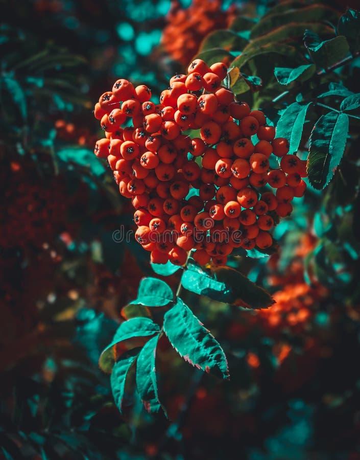 Ashberry rosso in un parco di notte fotografie stock libere da diritti