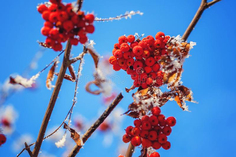 Ashberry on snowy tree branch. Mountain ash on snowy tree branch against the blue sky royalty free stock image