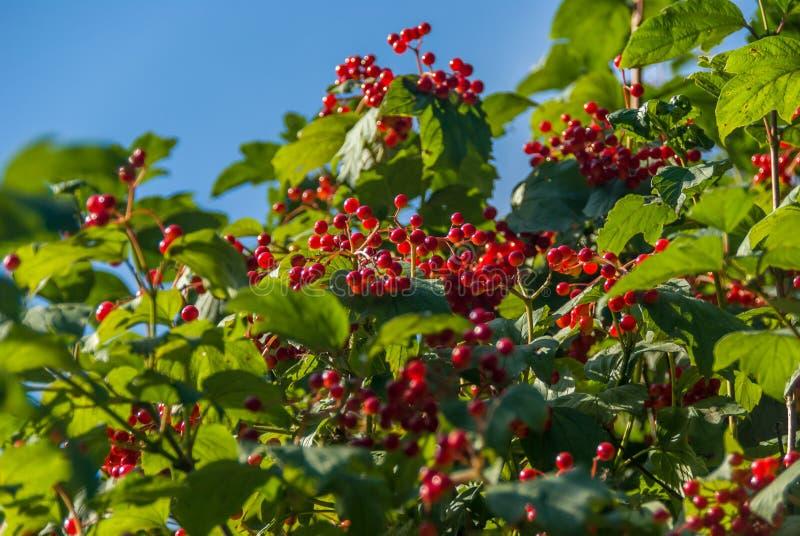 Ashberry su un ramo di albero fotografie stock