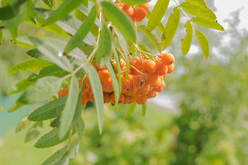 Ashberry tree. A branch of ashberries fruits royalty free stock photography