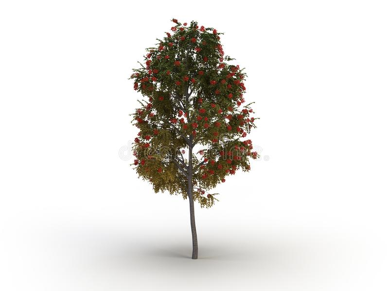 Ashberry tree royalty free stock photo