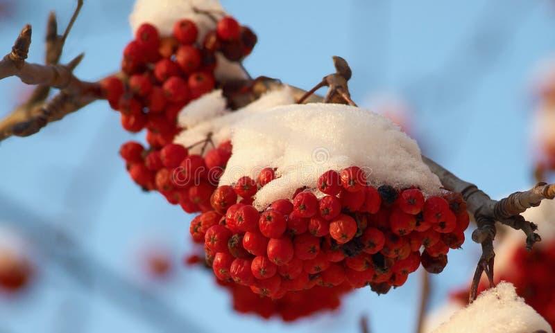 Ashberry unter Schnee lizenzfreie stockbilder