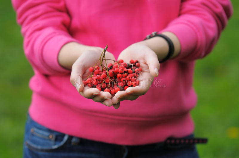 Ashberry in woman hands stock image