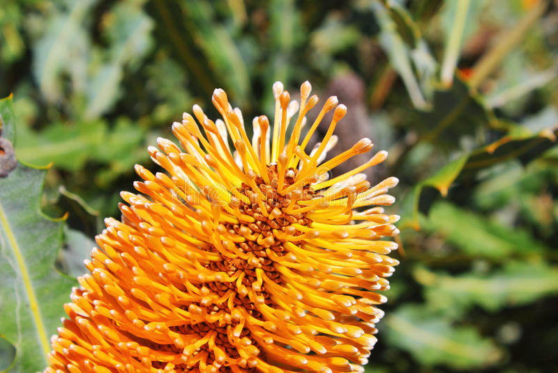 Ashby ` s Banksia: Pączki tuż przed kwitnieniem, blisko Exmouth, Australia zdjęcia stock