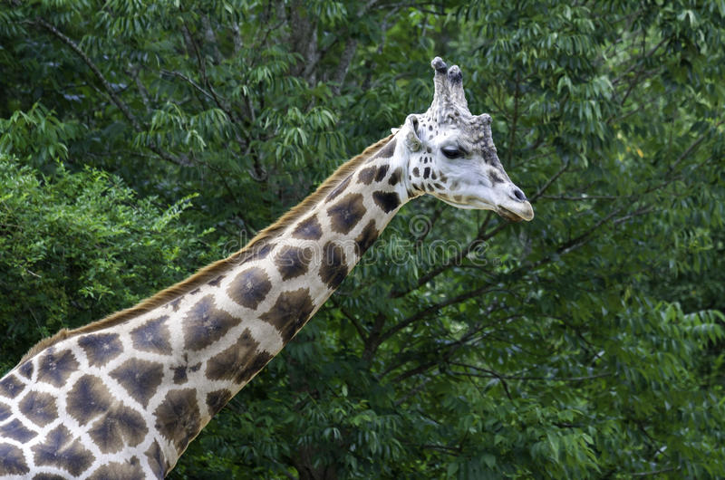 Asheboro, girafa norte do jardim zoológico de Caolina imagens de stock royalty free