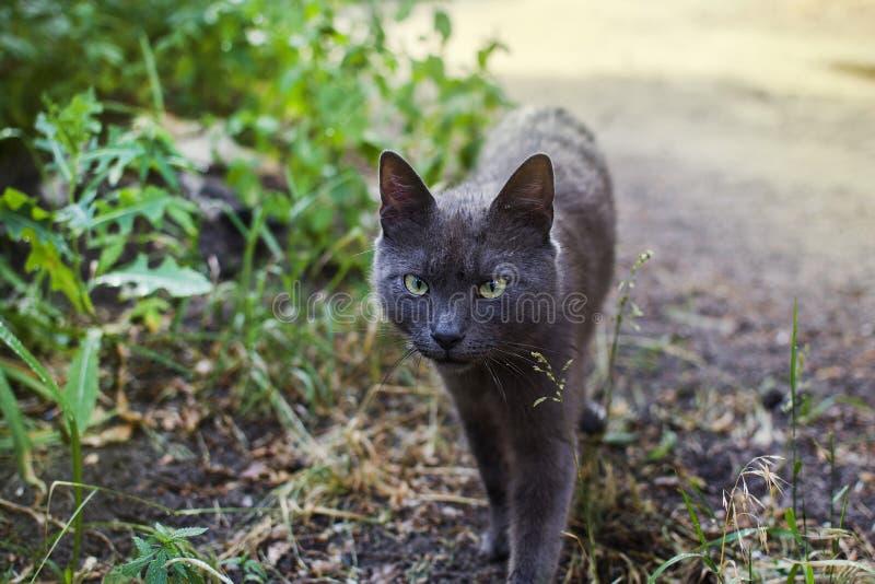 Ashen кот на охоте стоковые изображения