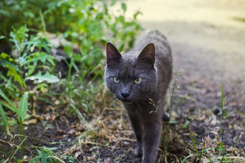 An ashen cat on the hunt stock images
