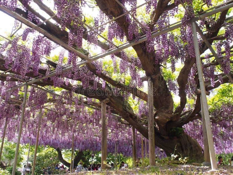 Wisteria Trellis of Ashikaga Flower Park, Tochigi, Japan stock photos
