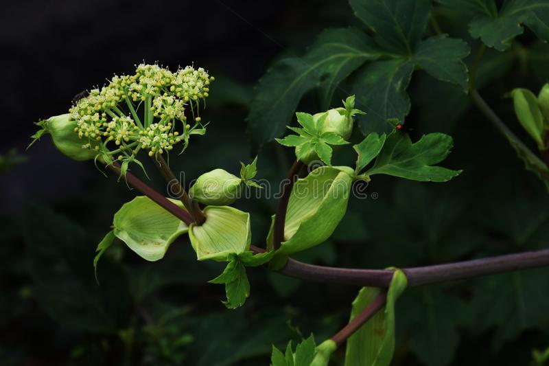 Angelica keiskei(Ashitaba). Ashitaba is a plant originating in Japan and is attracting attention as a healthy vegetable, as well as drug efficacy royalty free stock photo