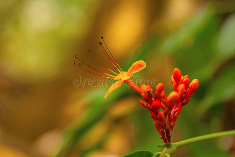 Ashoka blomma, Saraca asoka, Goa, INDIEN arkivbilder