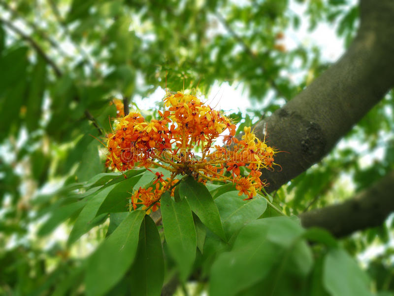 Ashoka flower. Closeup of Ashoka flower & x28; or lit, sorrow less or Saraca indica L. & x29; is a flower of plant an important tree in the cultural traditions stock image