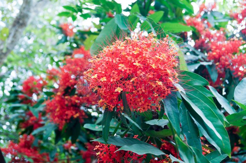 The orange and red ashoka flowers are blooming so beautiful. The ashoka flowers are blooming . The small flowers combined into a large bouquet so beautiful stock photos