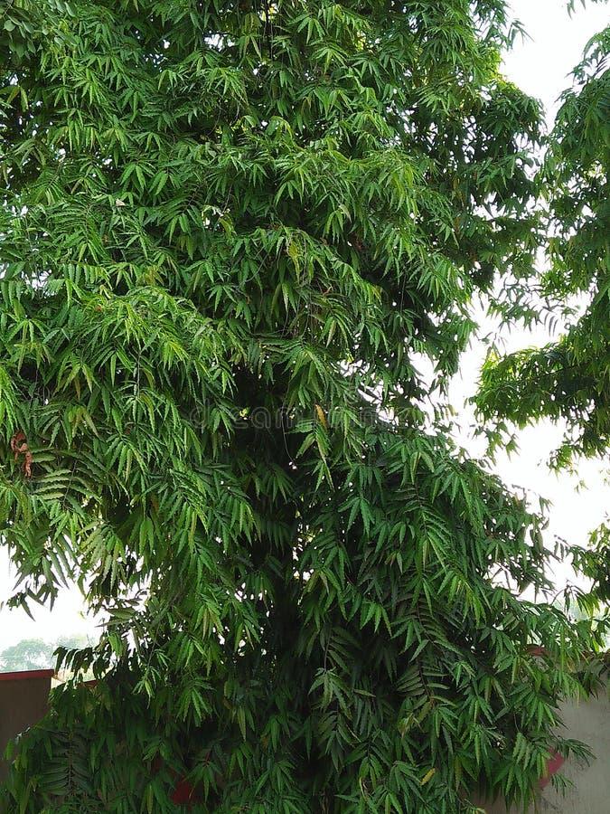 ASHOKA PANDOLA. IT CAN BE GROWN UP TO 10 ASHOKA PANDOLA PLANT & x28;POLYALTHIA LONGIFOLIA& x29; IS A LOFTY EVERGREEN TREE, NATIVE TO INDIA COMMONELY PLANTED DUE royalty free stock photos