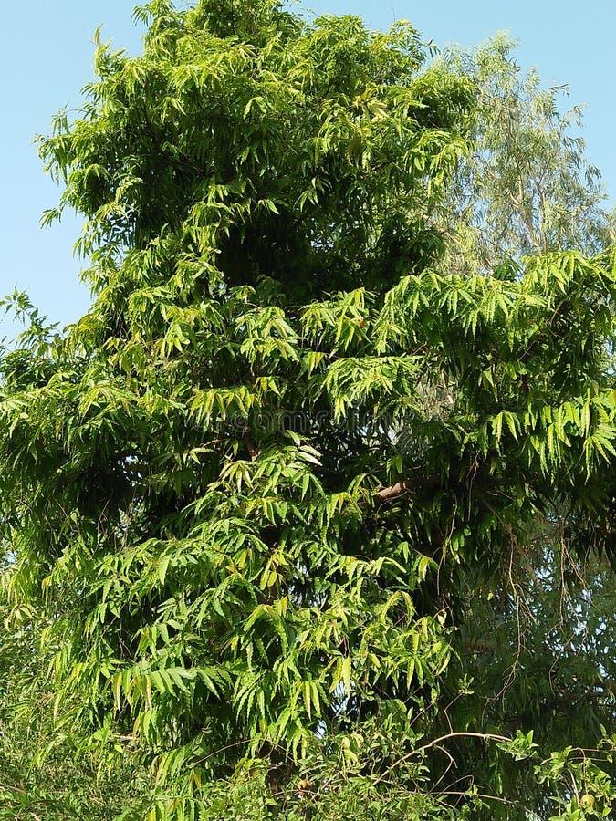 ASHOKA PANDOLA. IT CAN BE GROWN UP TO 10 ASHOKA PANDOLA PLANT & x28;POLYALTHIA LONGIFOLIA& x29; IS A LOFTY EVERGREEN TREE, NATIVE TO INDIA COMMONELY PLANTED DUE stock photography