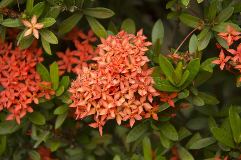 Ashoka tree. beautiful flowers. The ashoka is a rain-forest tree. Its original distribution was in the central areas of the Deccan plateau, as well as the middle royalty free stock image