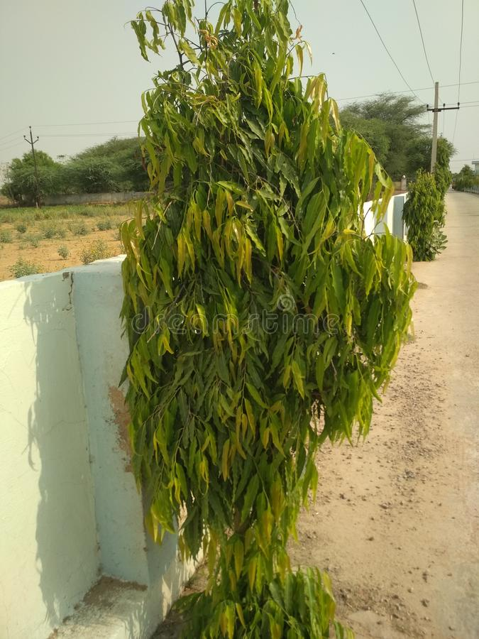 Ashoka rośliny zdjęcia royalty free