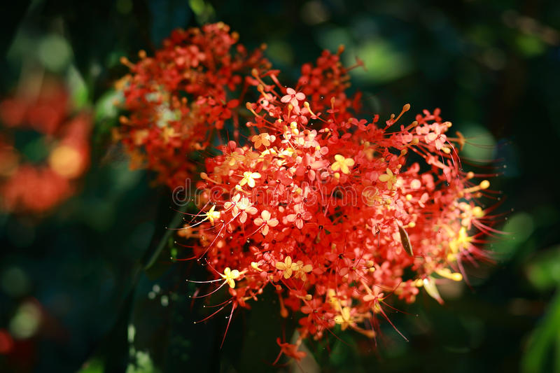 Ashoka tree. Saraca asoca (the ashoka tree; lit., sorrow-less) is a plant belonging to the Caesalpinioideae subfamily of the legume family. It is an important royalty free stock images