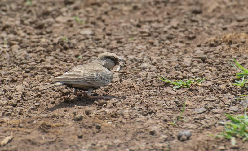 Ashtcrowned Sparrow Lark Feeding on Insects. It is found on dry, stony fields stock images