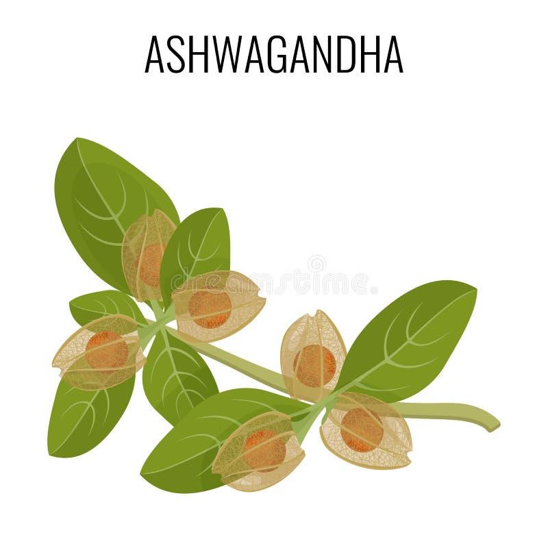 Ashwagandha ayurvedic ziele odizolowywający na bielu Withania somnifera royalty ilustracja