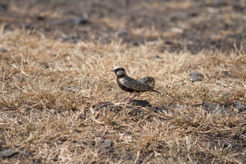 Ashy Crown sparrow lark male. Small beautiful bird Ashy Crown sparrow lark male from Central India royalty free stock photo