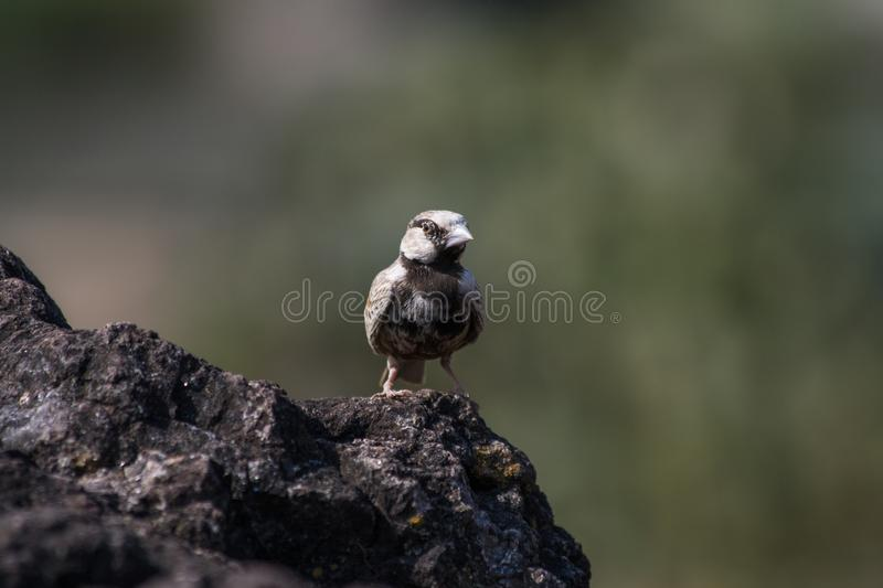 Ashy Crown sparrow lark male. Small beautiful bird Ashy Crown sparrow lark male from Central India royalty free stock image
