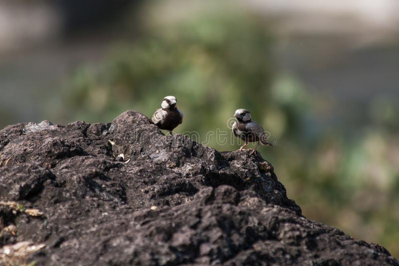 Ashy Crown sparrow lark males. Small beautiful bird Ashy Crown sparrow lark males on rocks  from Central India stock photography