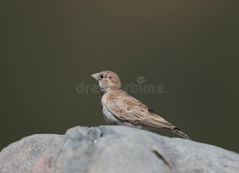 Ashy-crowned sparrow-lark. The ashy-crowned sparrow-lark is a small sparrow-sized member of the lark family. It is found in the plains in open land with bare stock photography