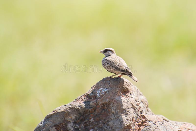 Ashy-crowned Sparrow Lark on green background. Ashy-crowned Sparrow Lark Eremopterix griseus male perching on rock in green blurred background stock images