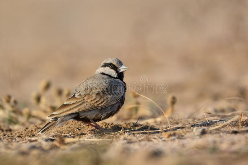 Ashy crowned sparrow lark Male royalty free stock photography
