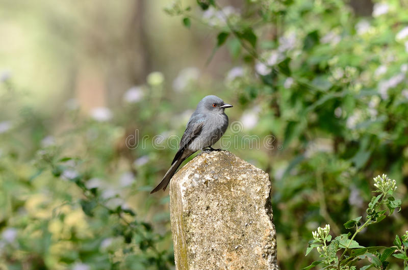 Download Ashy drongo stock photo. Image of beautiful, avian, nobody - 22375682