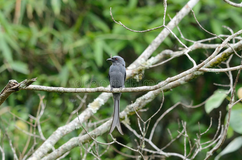 Download Ashy drongo stock photo. Image of forest, natural, nature - 29324222