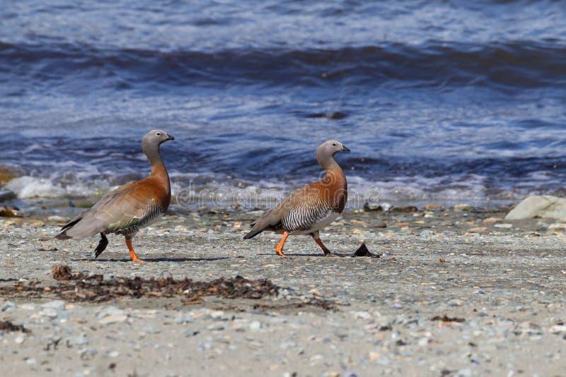 Ashy-headed goose pair walks shoreline of lake in Tierra del Fuego, Argentina