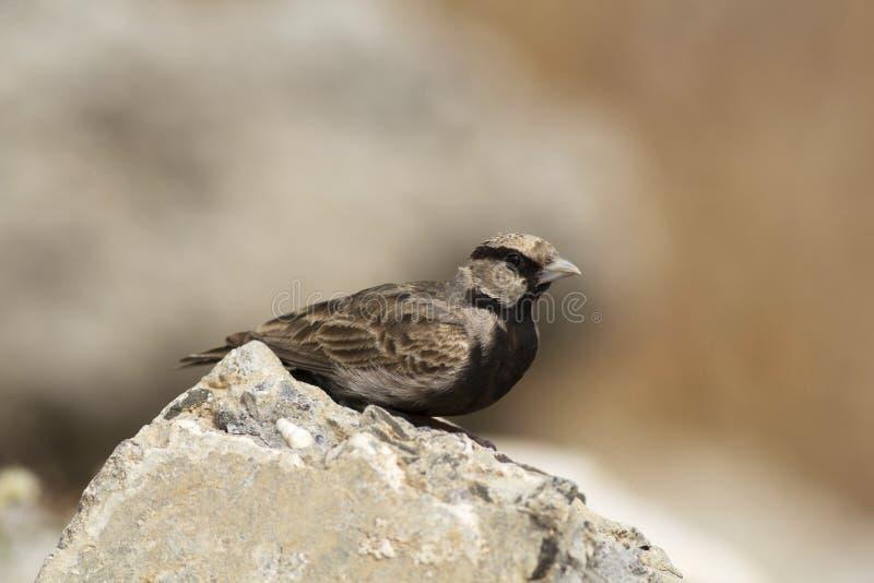 Ashy koronowany finch żart, Eremopterix griseus, Solapur, maharashtra, India zdjęcia stock