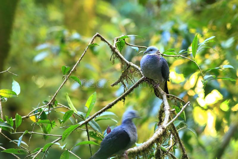 Ashy träduva fotografering för bildbyråer