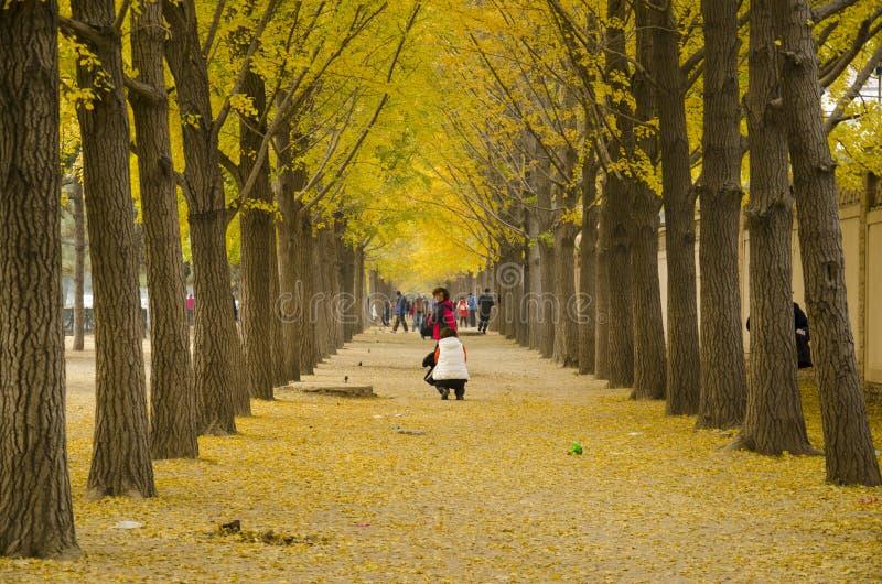 Asiático China, Pekín, avenida del paisaje del ginkgo fotos de archivo libres de regalías