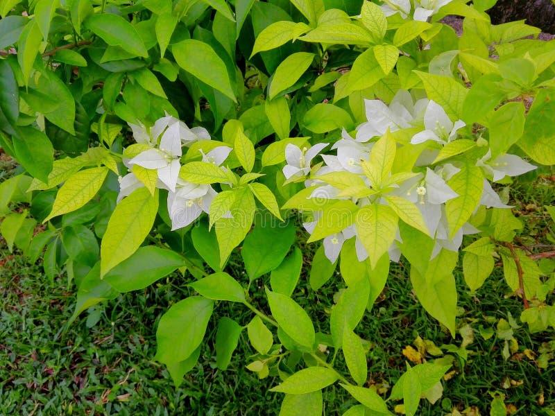 Asiático de la flor del Libro Blanco fotos de archivo