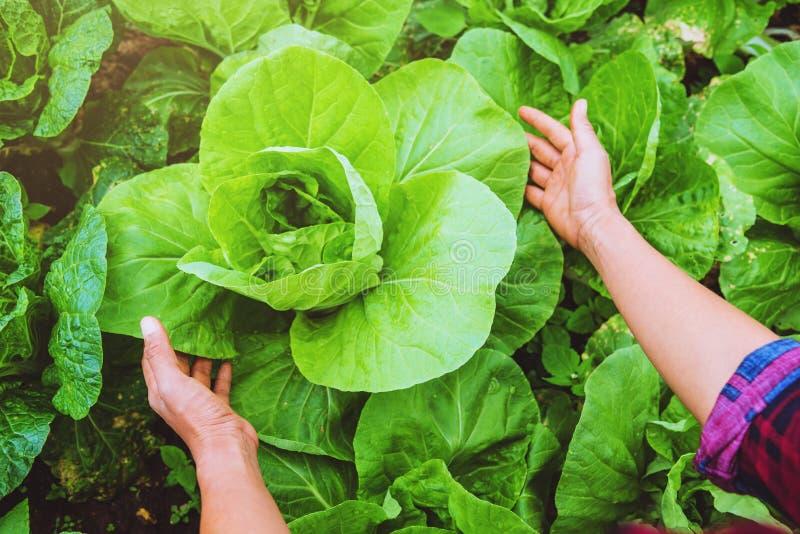 Asiático de la mujer del jardinero de la mano El cuidar para la lechuga vegetal en el jardín en el cuarto de niños fotografía de archivo